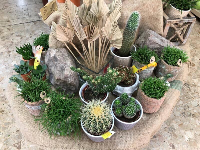 Blumen Impressionen - Kaktus Pflanzen im Topf